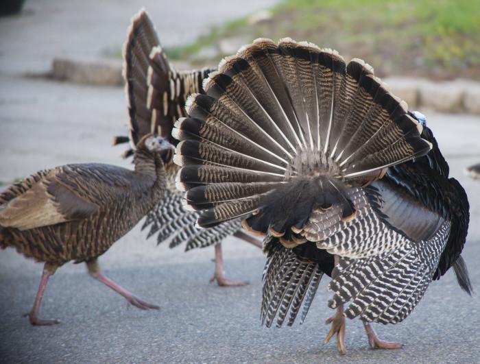 Turkey Male