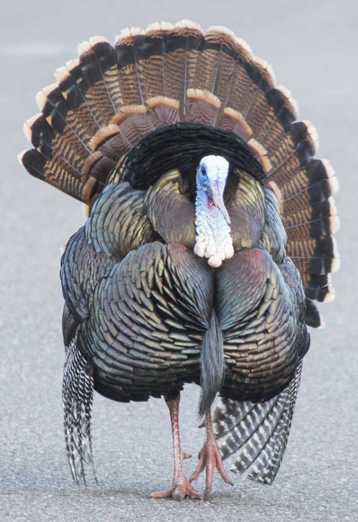 Turkey Male2